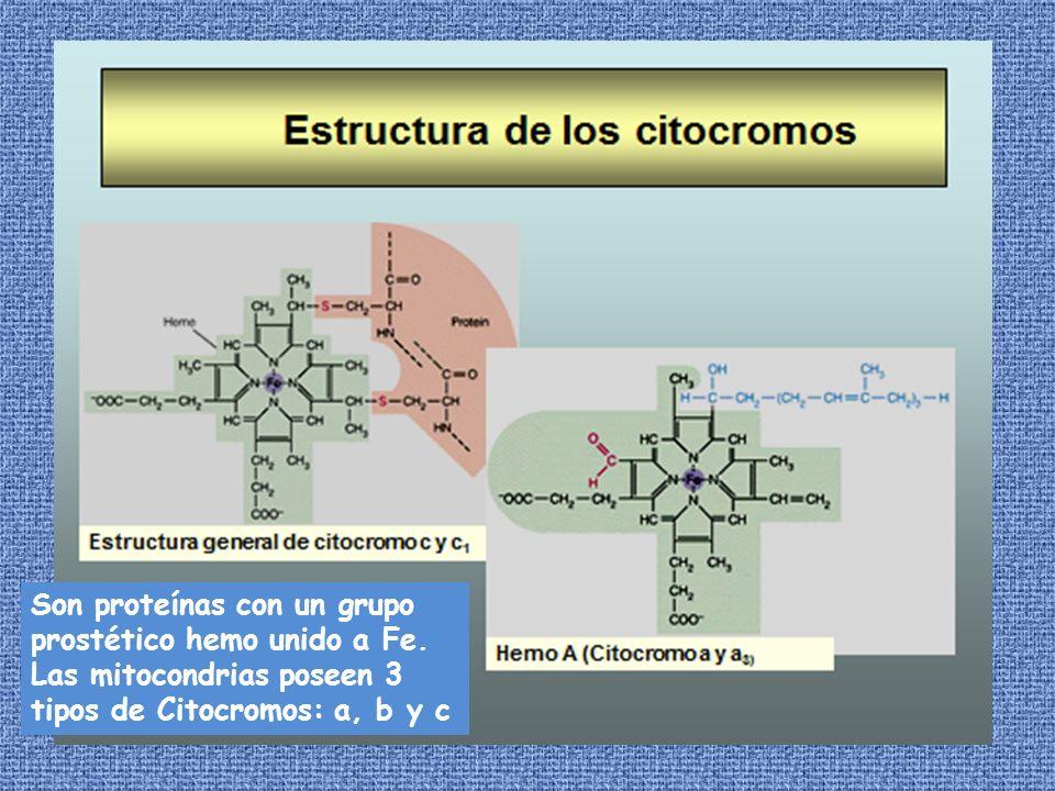 Son proteínas con un grupo prostético hemo unido a Fe.