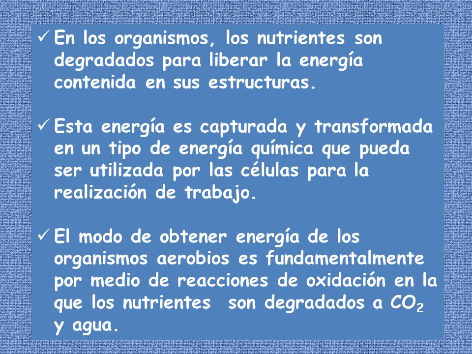 En los organismos, los nutrientes son degradados para liberar la energía contenida en sus estructuras.