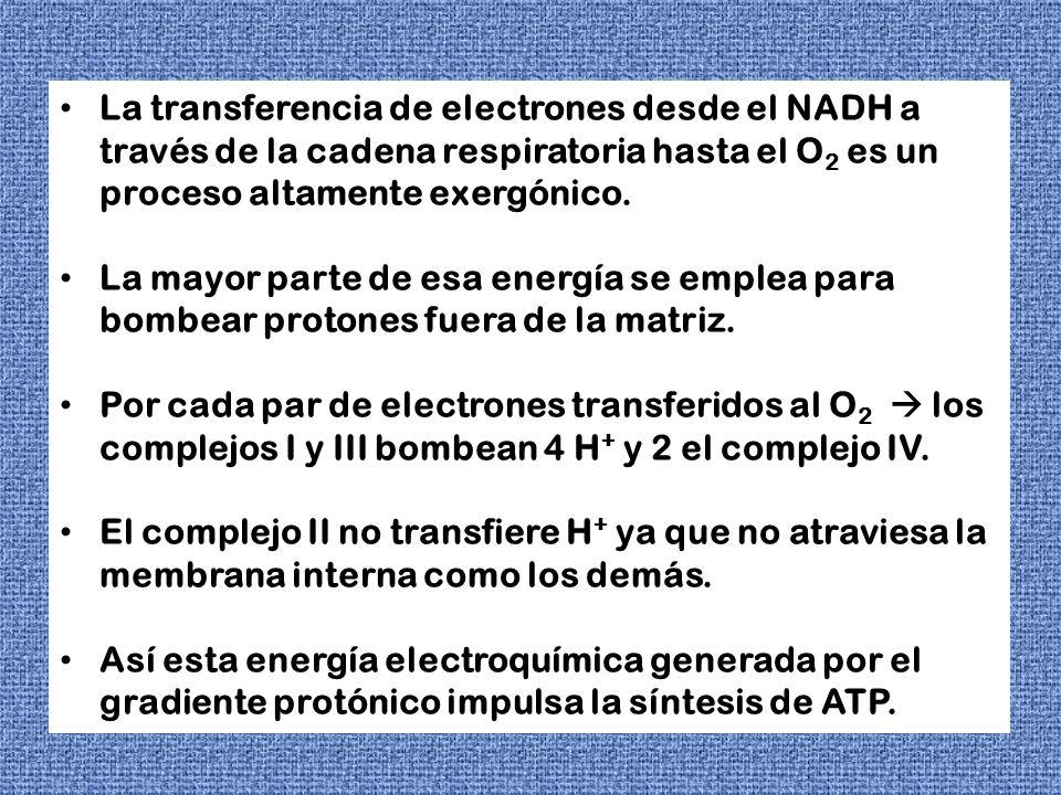 La transferencia de electrones desde el NADH a través de la cadena respiratoria hasta el O2 es un proceso altamente exergónico.