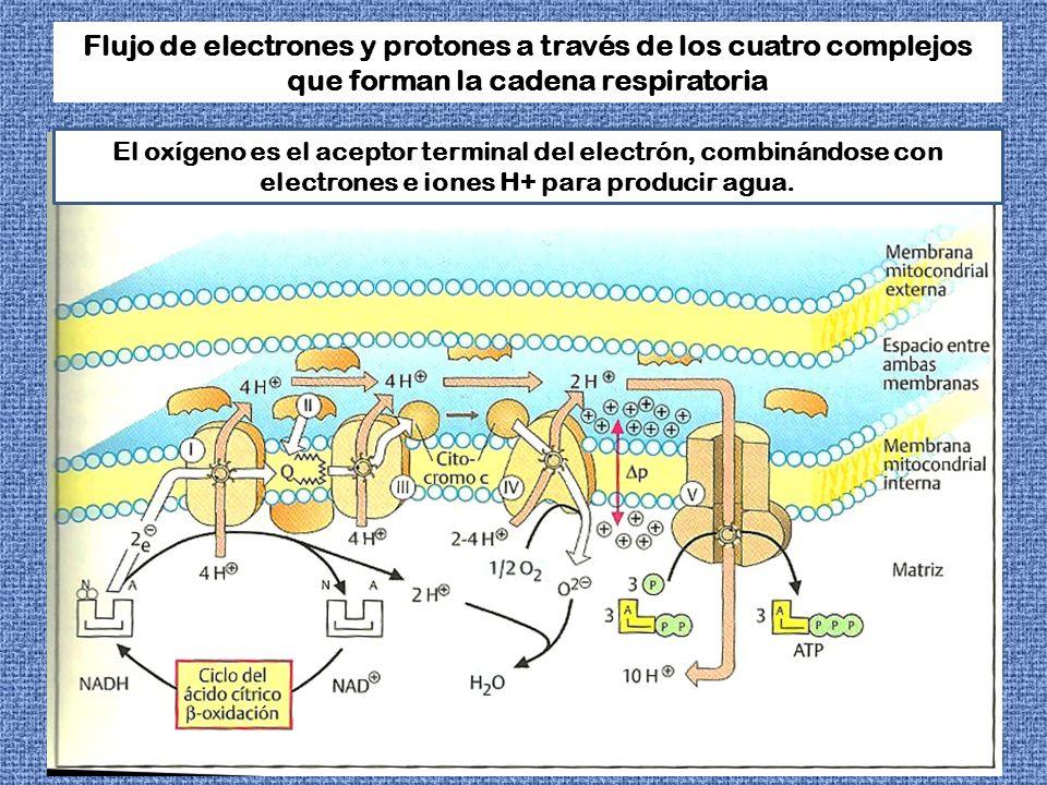 Flujo de electrones y protones a través de los cuatro complejos que forman la cadena respiratoria