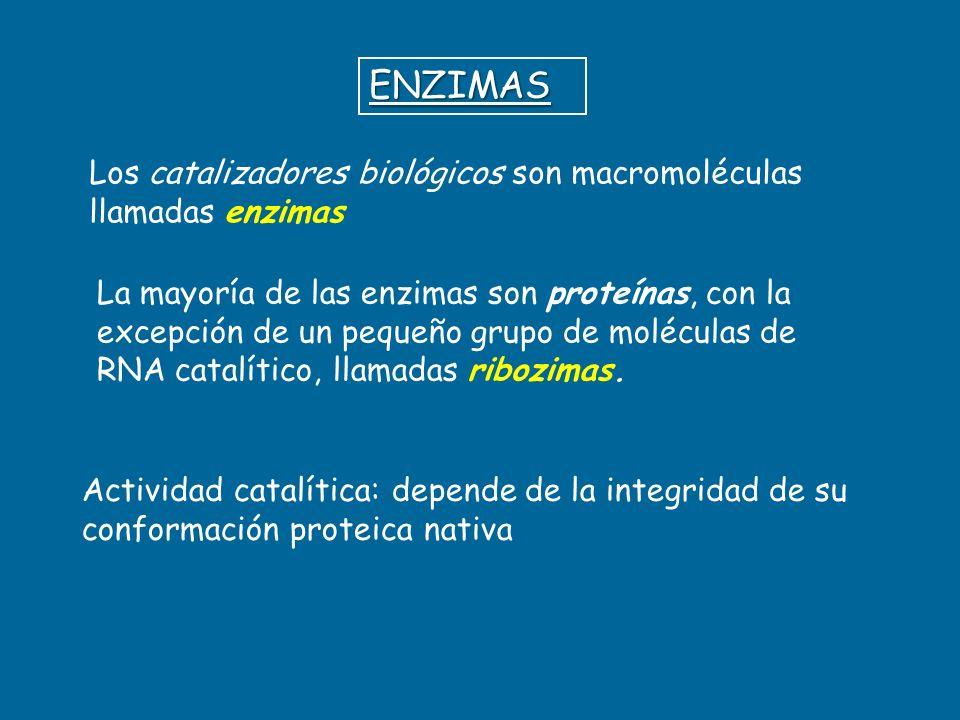 ENZIMAS Los catalizadores biológicos son macromoléculas llamadas enzimas.