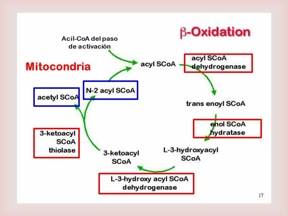 Acil-CoA del paso de activación Mitocondria