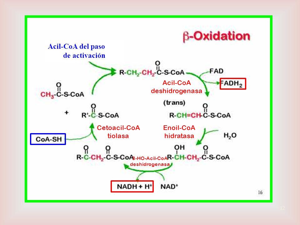 Acil-CoA del paso de activación Acil-CoA deshidrogenasa