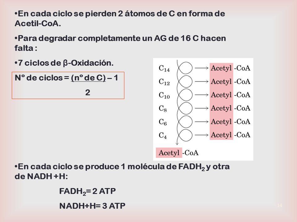 En cada ciclo se pierden 2 átomos de C en forma de Acetil-CoA.