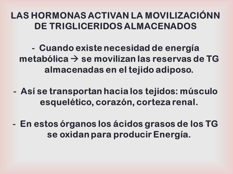 LAS HORMONAS ACTIVAN LA MOVILIZACIÓNN DE TRIGLICERIDOS ALMACENADOS