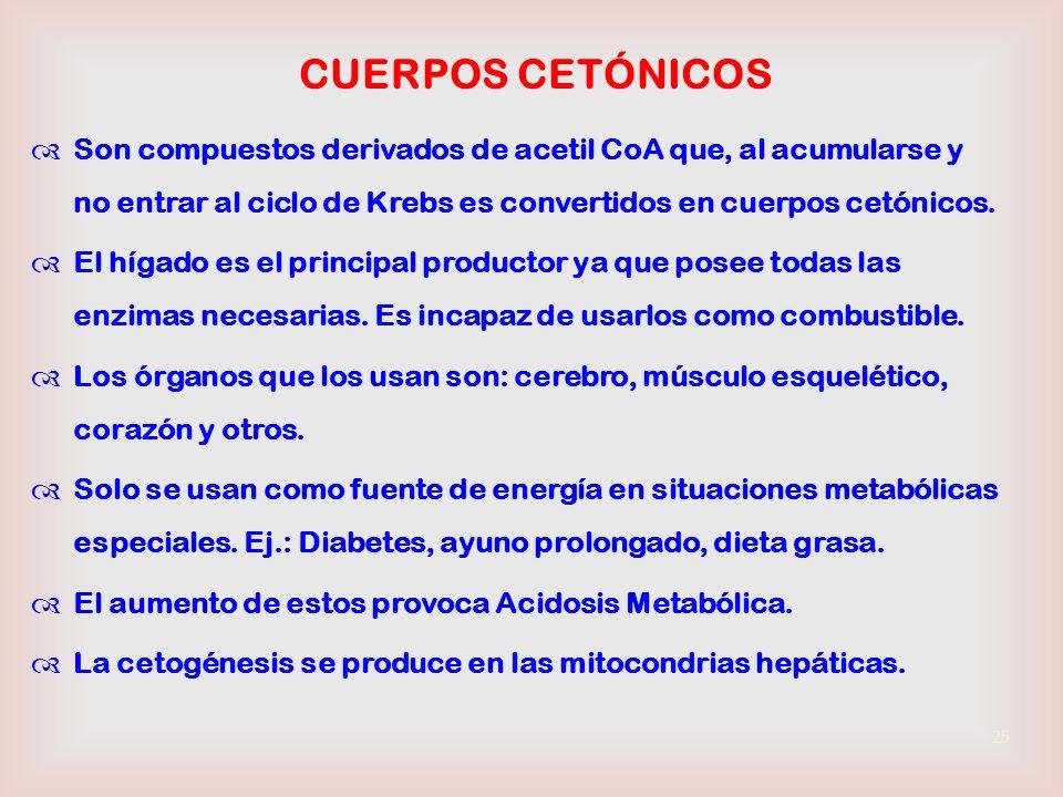 CUERPOS CETÓNICOS Son compuestos derivados de acetil CoA que, al acumularse y no entrar al ciclo de Krebs es convertidos en cuerpos cetónicos.