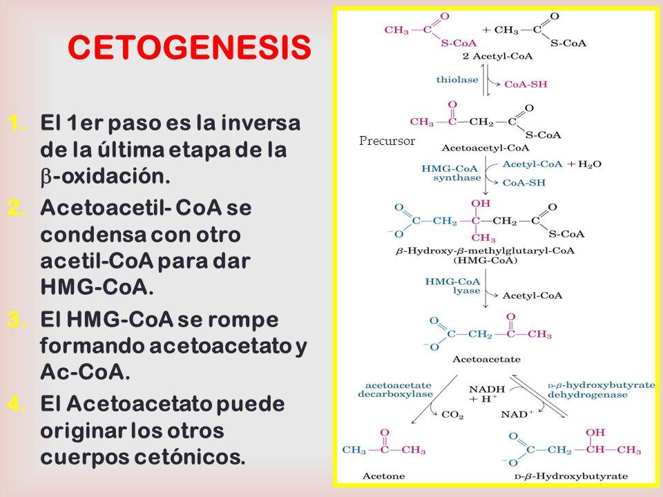 CETOGENESIS El 1er paso es la inversa de la última etapa de la b-oxidación. Acetoacetil- CoA se condensa con otro acetil-CoA para dar HMG-CoA.