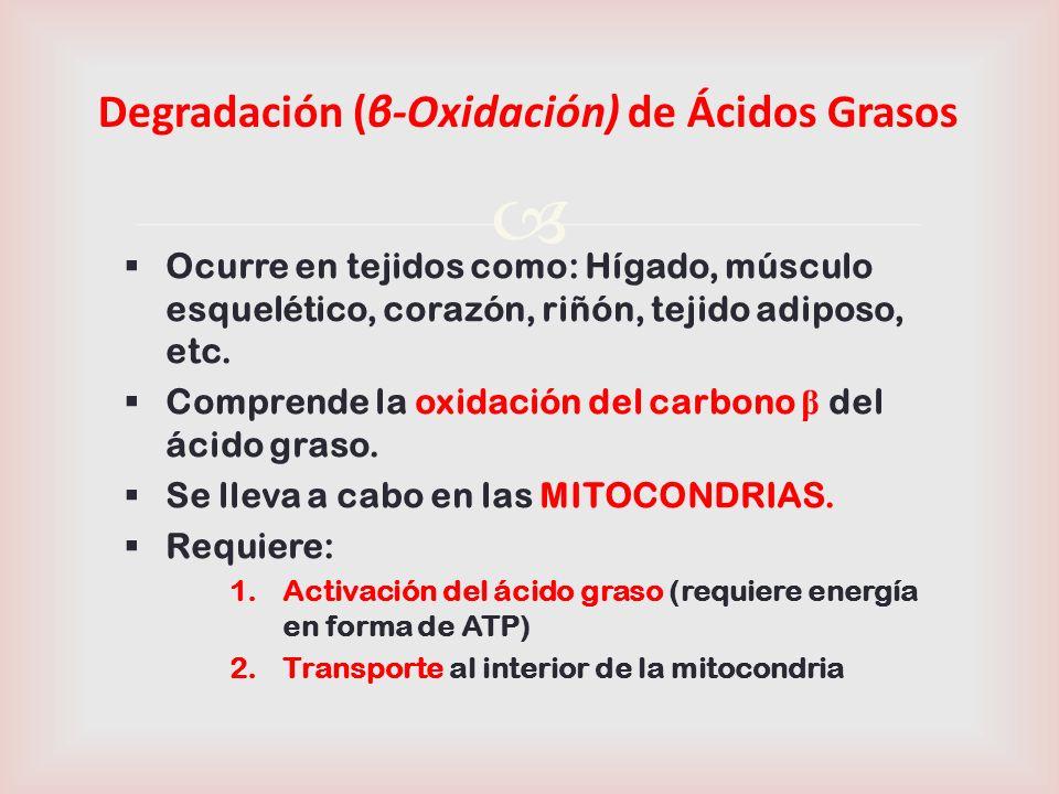 Degradación (β-Oxidación) de Ácidos Grasos