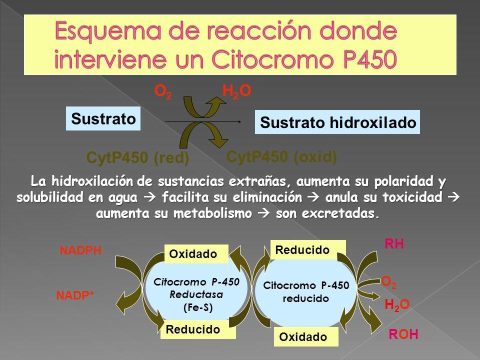 Esquema de reacción donde interviene un Citocromo P450