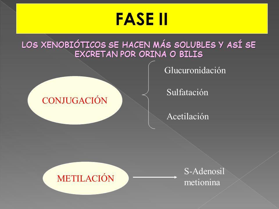 FASE II Glucuronidación CONJUGACIÓN Sulfatación Acetilación