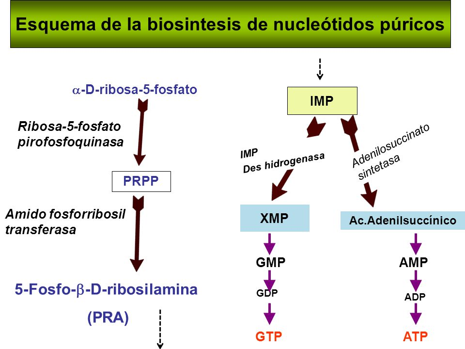 Esquema de la biosintesis de nucleótidos púricos