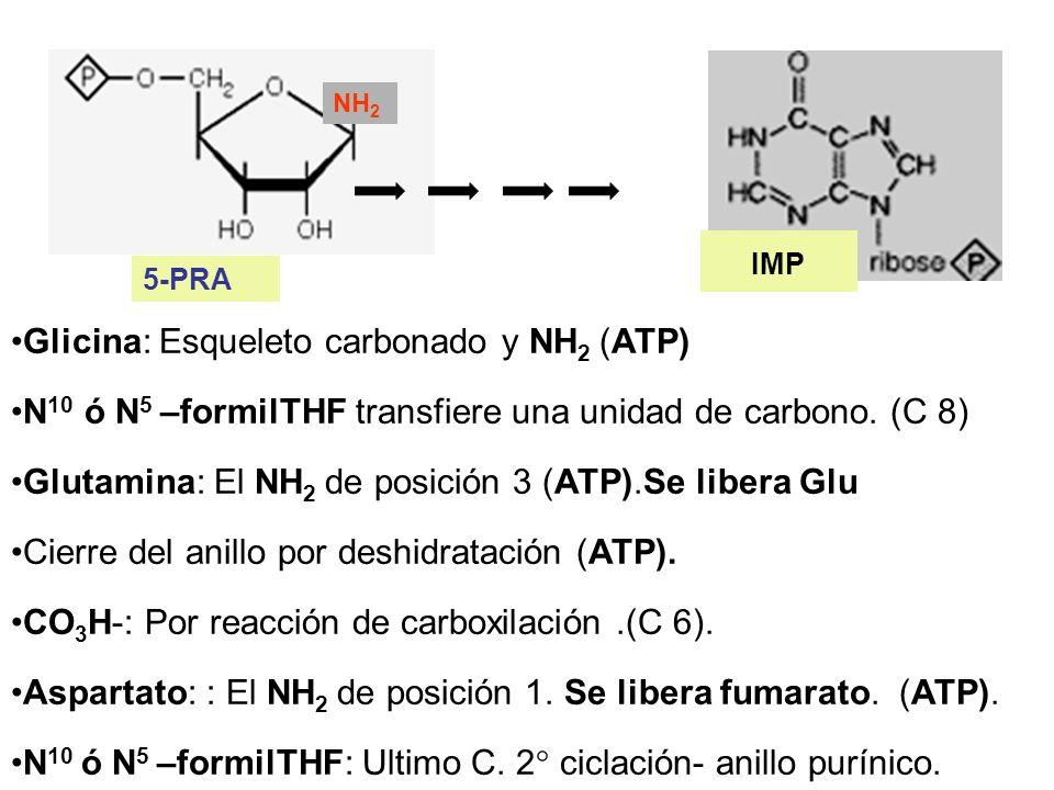 Glicina: Esqueleto carbonado y NH2 (ATP)