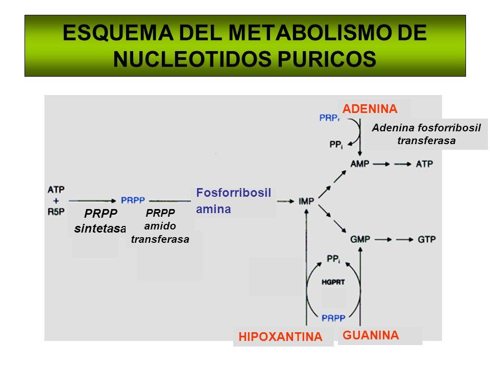 ESQUEMA DEL METABOLISMO DE NUCLEOTIDOS PURICOS