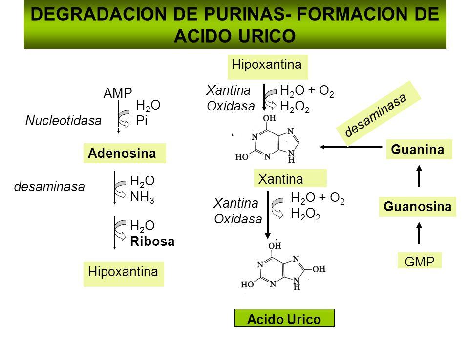 DEGRADACION DE PURINAS- FORMACION DE ACIDO URICO
