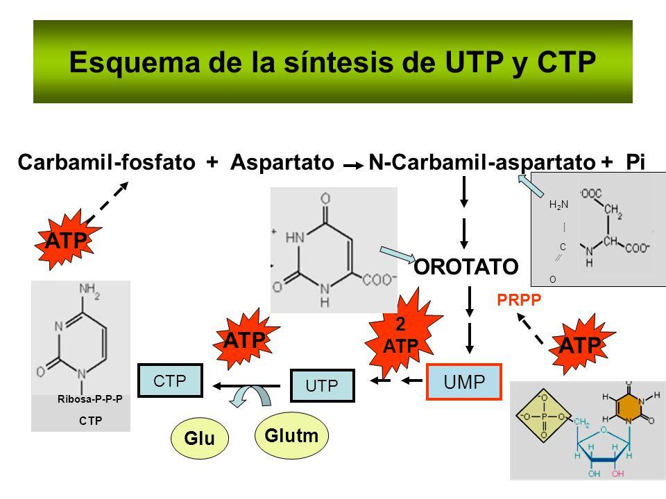 Esquema de la síntesis de UTP y CTP