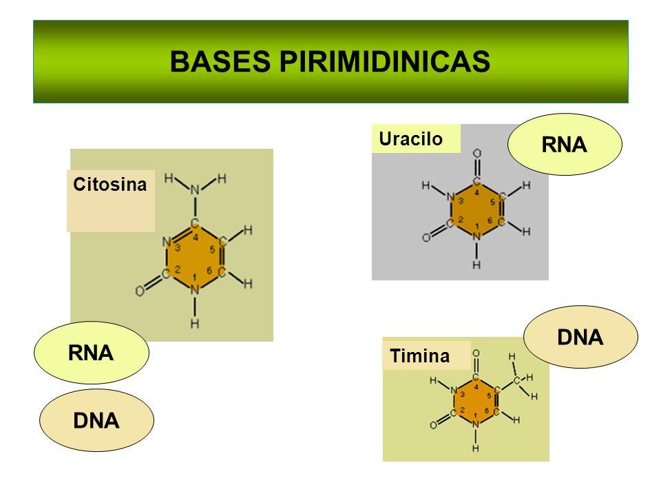 BASES PIRIMIDINICAS RNA Uracilo Citosina DNA RNA Timina DNA