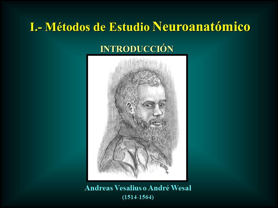 I.- Métodos de Estudio Neuroanatómico Andreas Vesalius o André Wesal