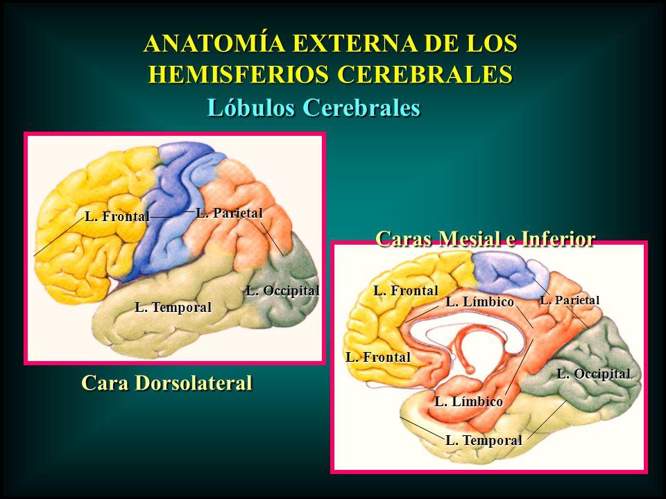 ANATOMÍA EXTERNA DE LOS HEMISFERIOS CEREBRALES Caras Mesial e Inferior