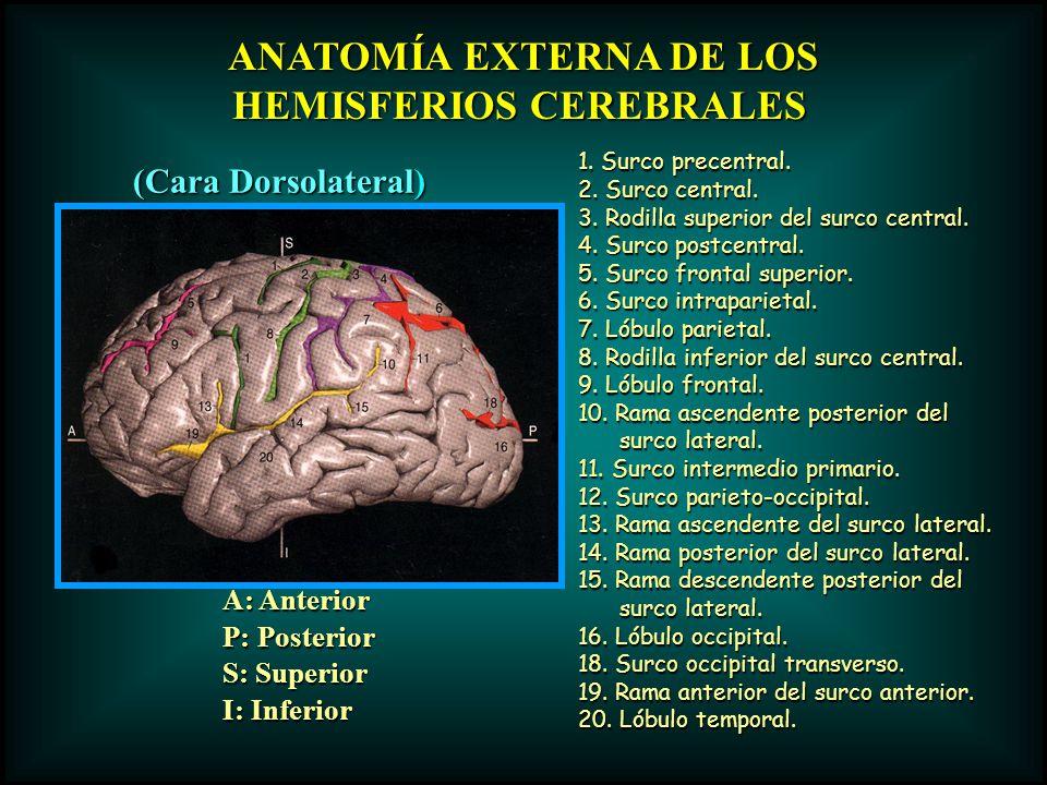 ANATOMÍA EXTERNA DE LOS HEMISFERIOS CEREBRALES