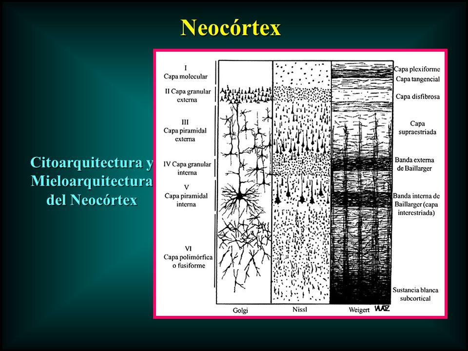 Citoarquitectura y Mieloarquitectura del Neocórtex