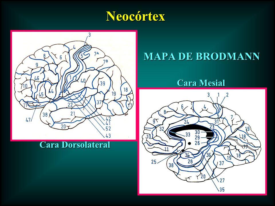 Neocórtex MAPA DE BRODMANN Cara Mesial Cara Dorsolateral