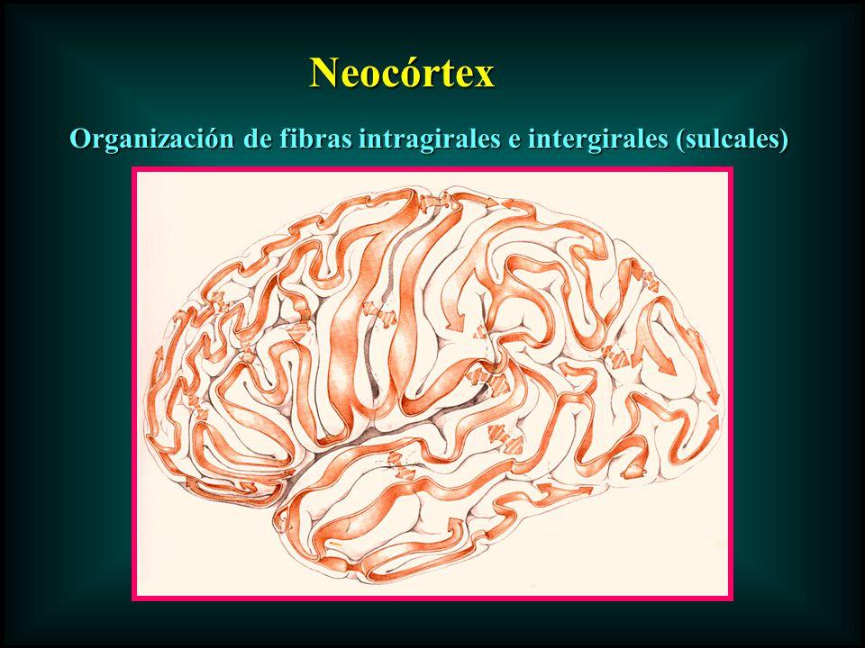 Organización de fibras intragirales e intergirales (sulcales)