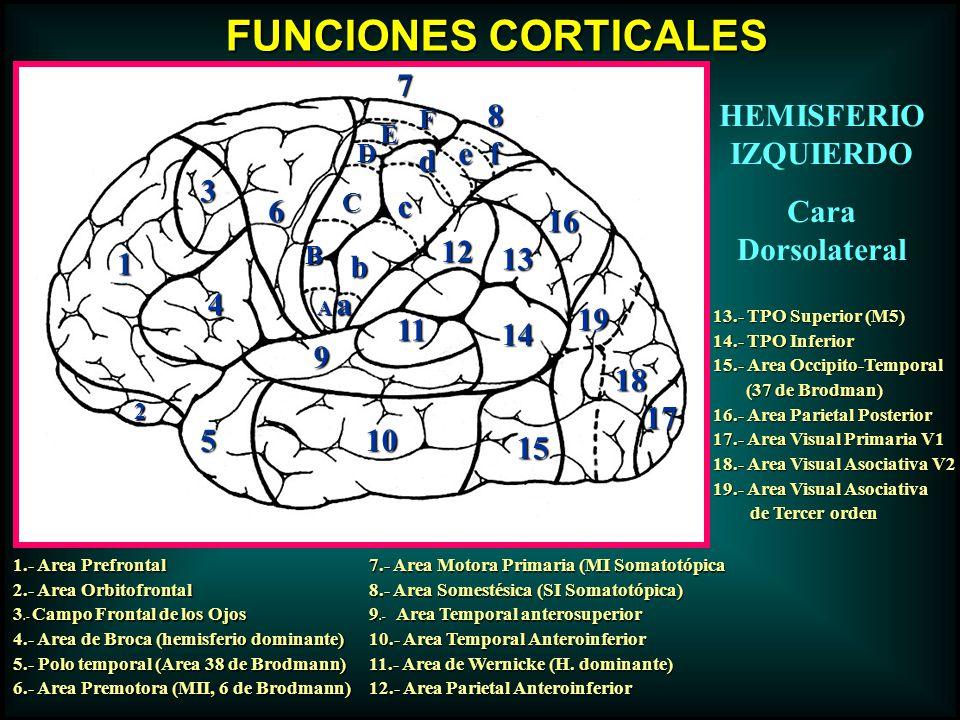 FUNCIONES CORTICALES 7 8 HEMISFERIO IZQUIERDO Cara Dorsolateral e f d
