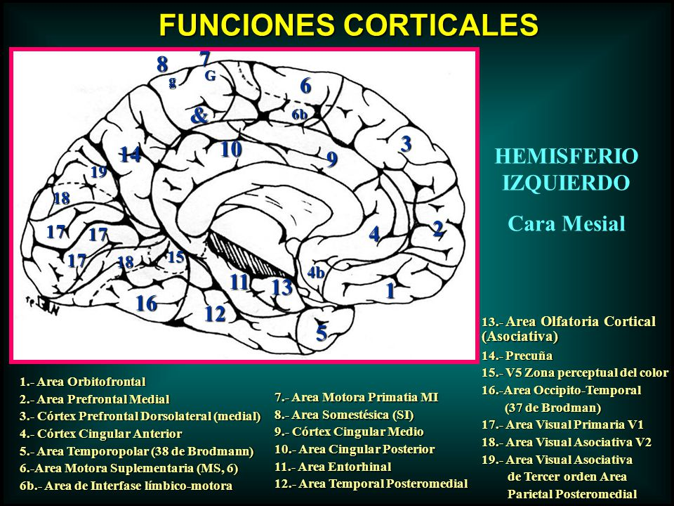 FUNCIONES CORTICALES 7 8 6 & 3 10 14 HEMISFERIO IZQUIERDO 9