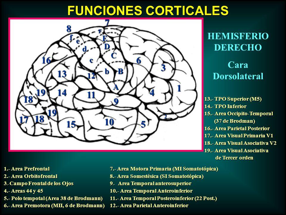 FUNCIONES CORTICALES 7 8 HEMISFERIO DERECHO Cara Dorsolateral 16 6 3