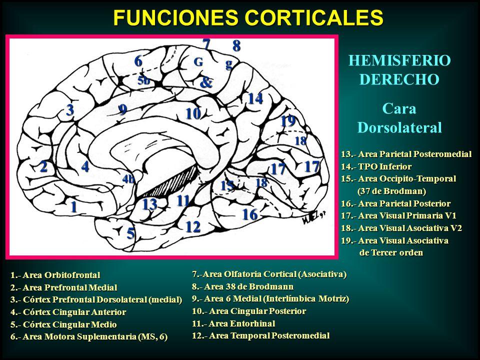 FUNCIONES CORTICALES 7 8 6 HEMISFERIO DERECHO Cara Dorsolateral & 14 3