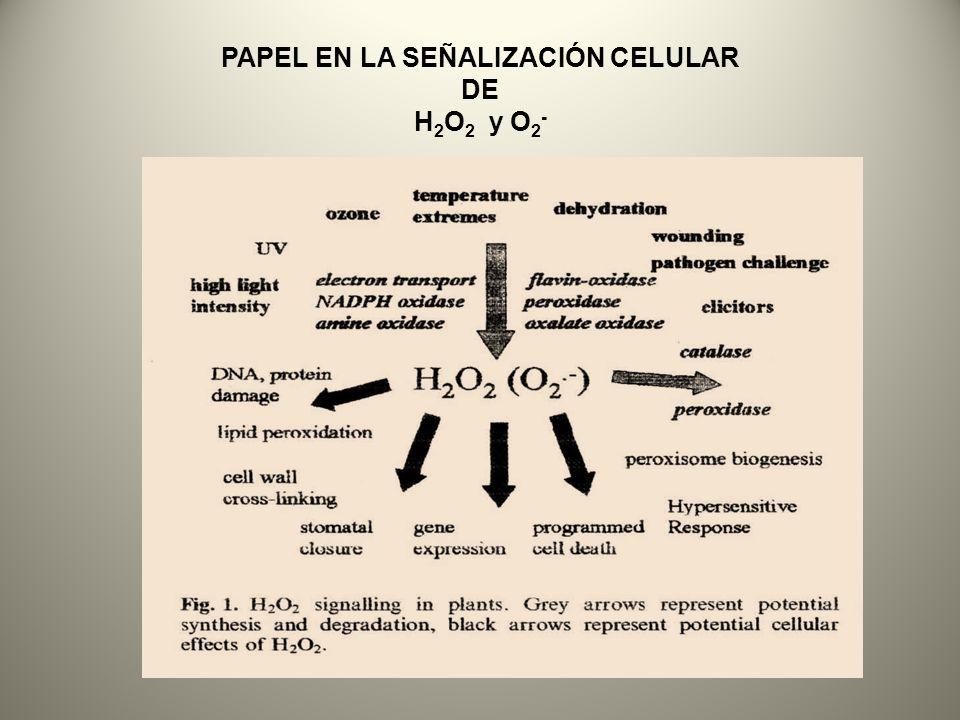 PAPEL EN LA SEÑALIZACIÓN CELULAR DE H2O2 y O2-