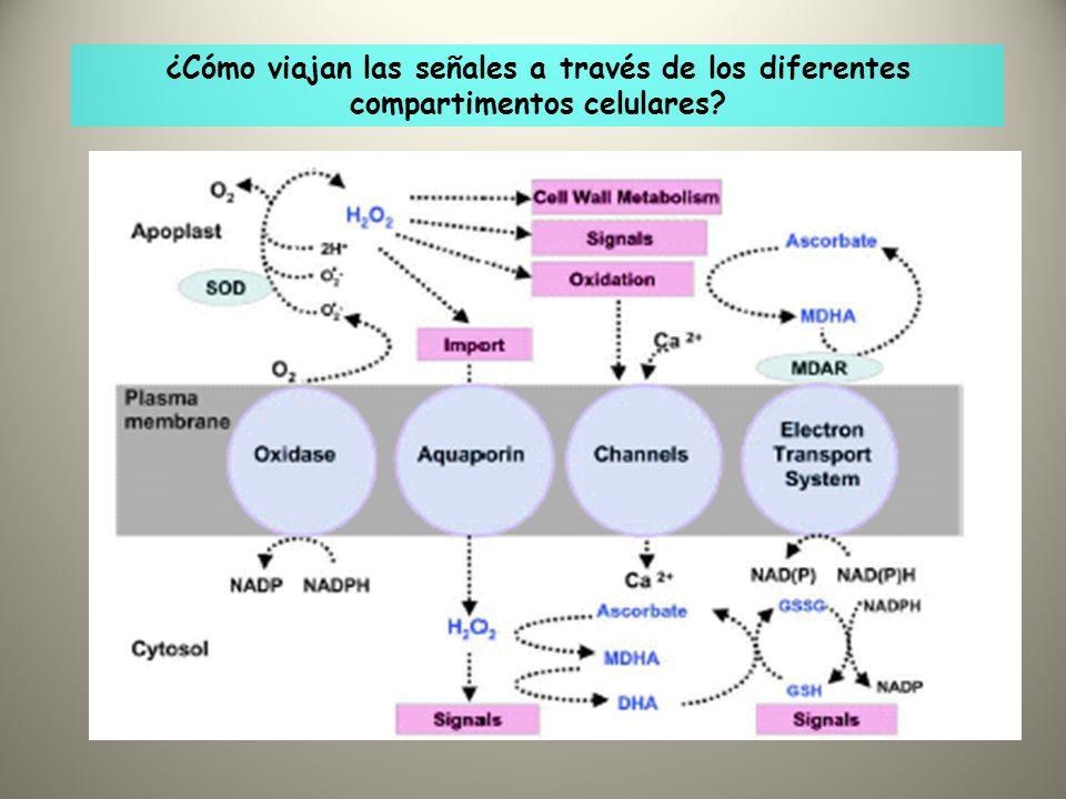¿Cómo viajan las señales a través de los diferentes compartimentos celulares