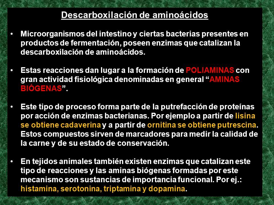 Descarboxilación de aminoácidos