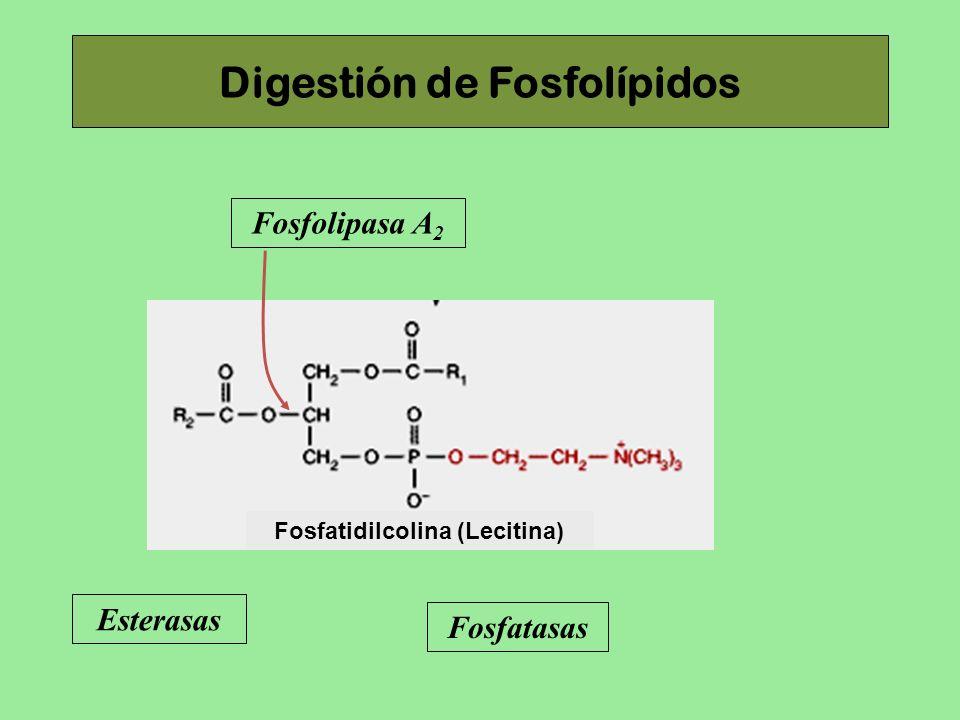 Digestión de Fosfolípidos