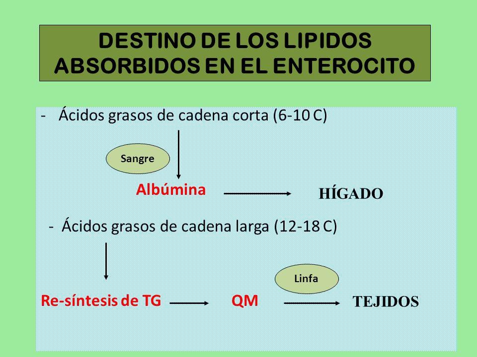 DESTINO DE LOS LIPIDOS ABSORBIDOS EN EL ENTEROCITO