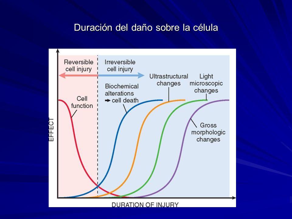 Duración del daño sobre la célula