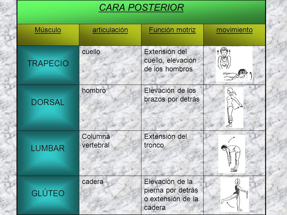 CARA POSTERIOR TRAPECIO DORSAL LUMBAR GLÚTEO Músculo articulación