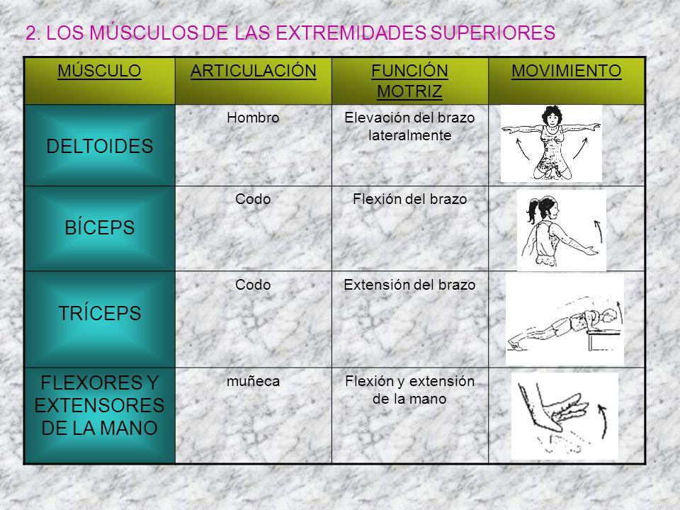 2. LOS MÚSCULOS DE LAS EXTREMIDADES SUPERIORES