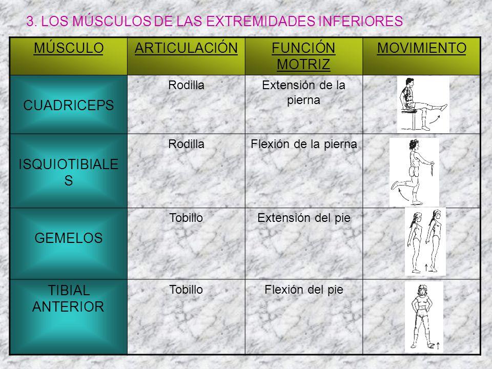 3. LOS MÚSCULOS DE LAS EXTREMIDADES INFERIORES MÚSCULO ARTICULACIÓN
