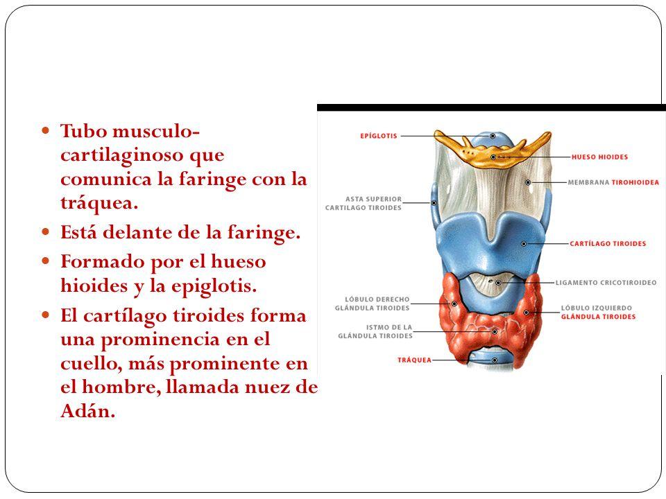 Laringe Tubo musculo- cartilaginoso que comunica la faringe con la tráquea. Está delante de la faringe.