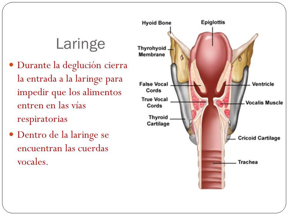 Laringe Durante la deglución cierra la entrada a la laringe para impedir que los alimentos entren en las vías respiratorias.