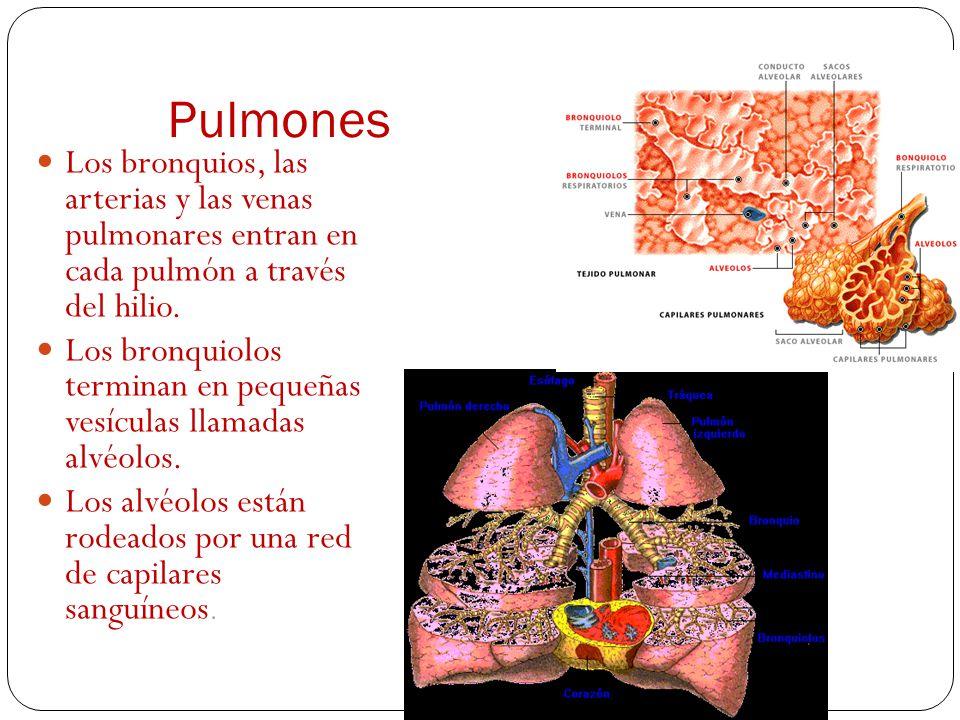Pulmones Los bronquios, las arterias y las venas pulmonares entran en cada pulmón a través del hilio.