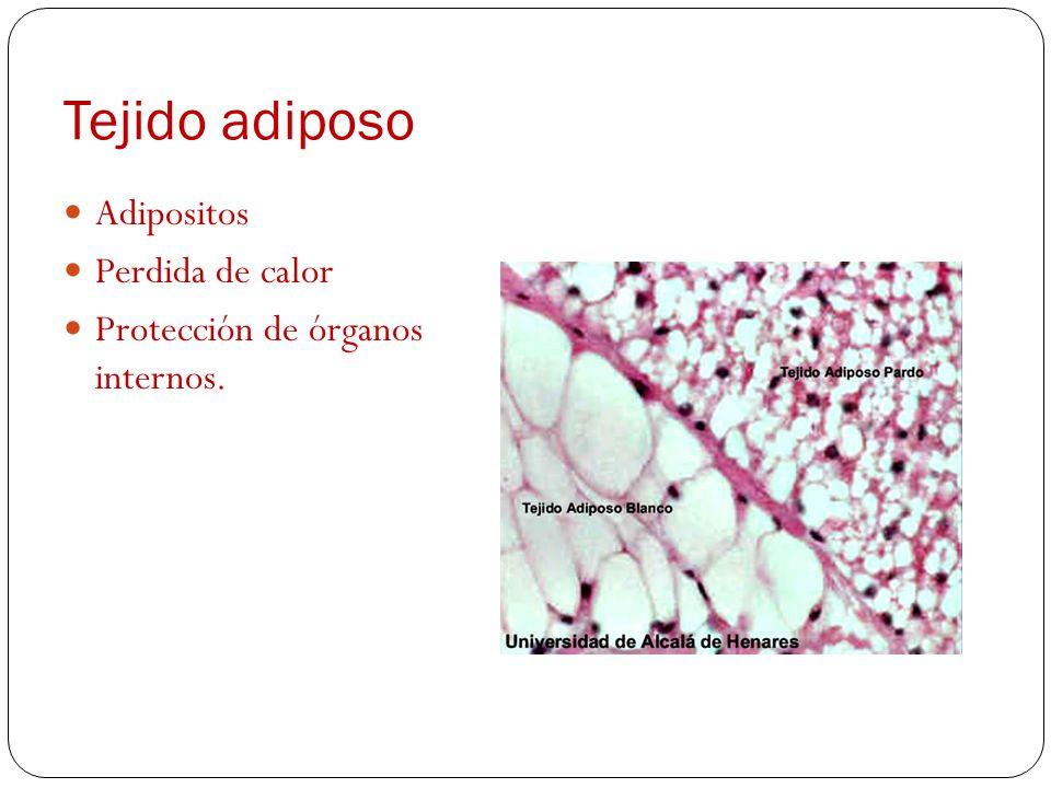 Tejido adiposo Adipositos Perdida de calor