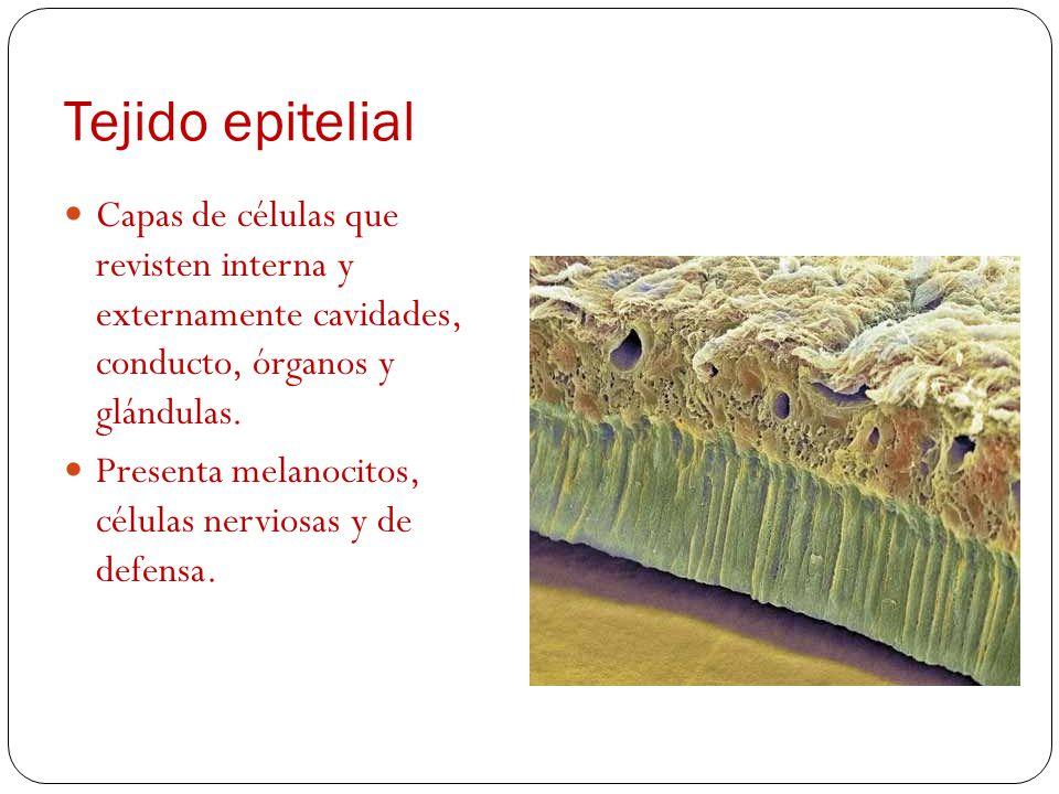 Tejido epitelial Capas de células que revisten interna y externamente cavidades, conducto, órganos y glándulas.