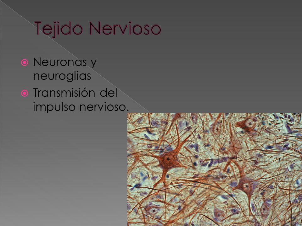Tejido Nervioso Neuronas y neuroglias
