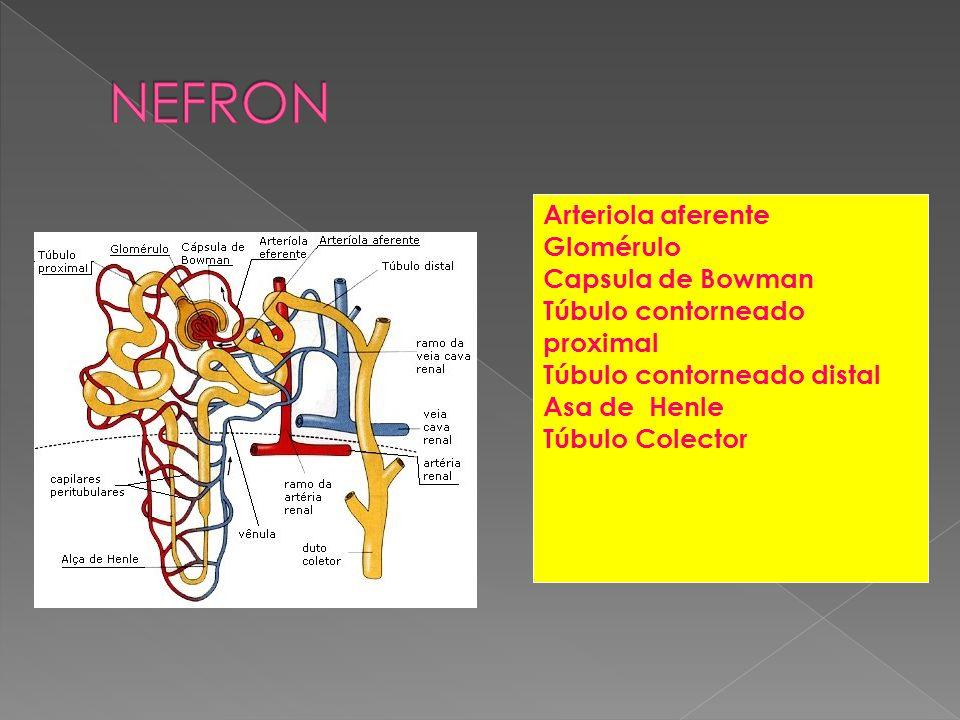 NEFRON Arteriola aferente Glomérulo Capsula de Bowman