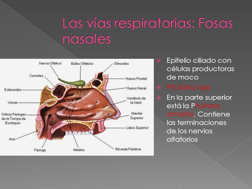 Las vías respiratorias: Fosas nasales