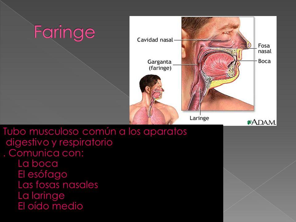 Faringe Tubo musculoso común a los aparatos digestivo y respiratorio