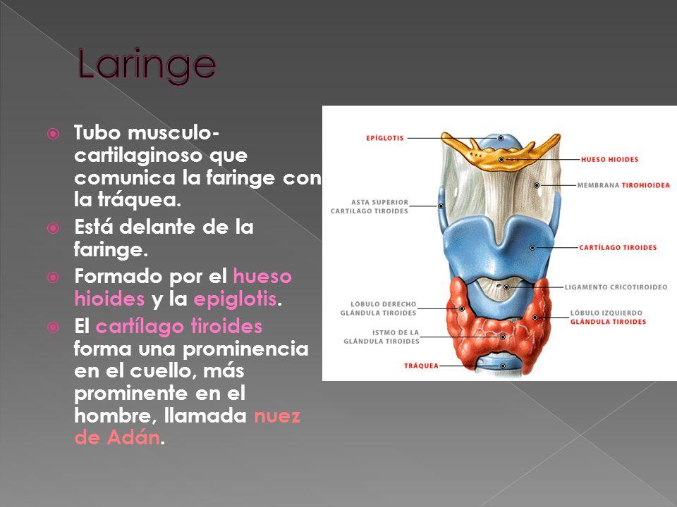 Laringe Tubo musculo-cartilaginoso que comunica la faringe con la tráquea. Está delante de la faringe.