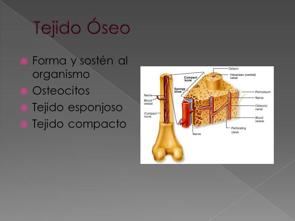 Tejido Óseo Forma y sostén al organismo Osteocitos Tejido esponjoso